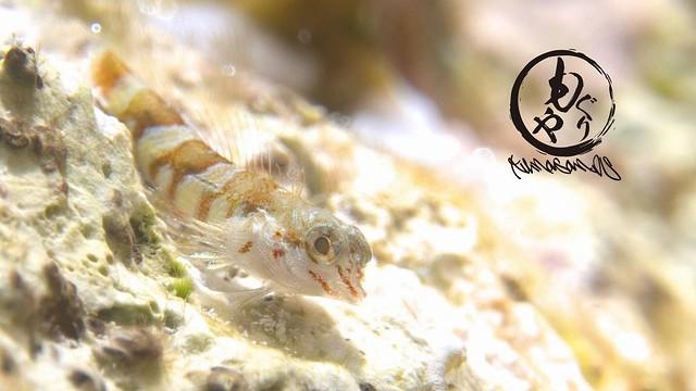 テングヘビギンポ幼魚ちゃん♪