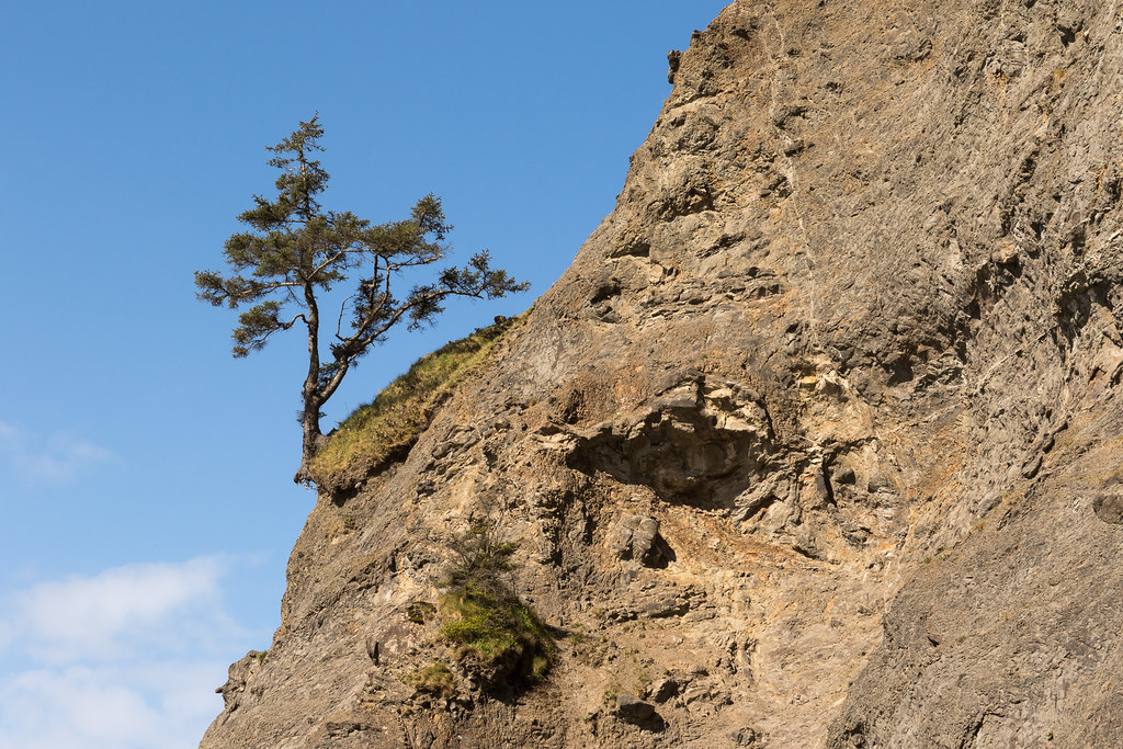 A tree grows on a steep slope at the Hole in the Wall on Rialto Beach in Olympic National Park