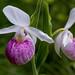 showy queen lady slipper, cypripedium reginae