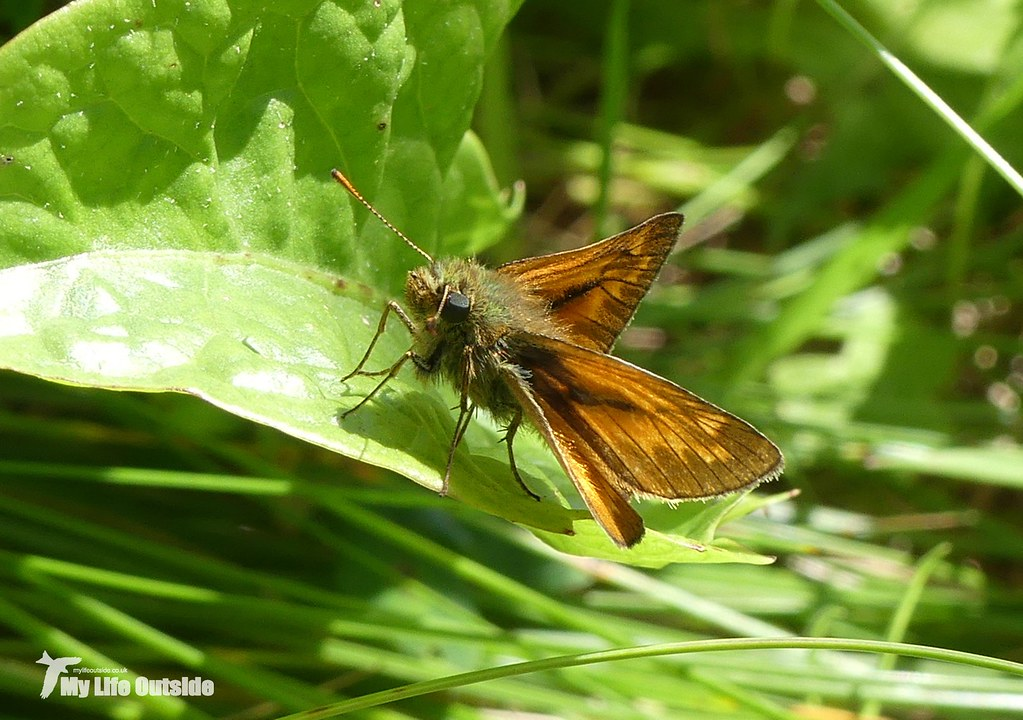 P1090395 - Large Skipper