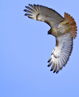 Wild Red-Tailed Hawk