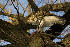 Red-tailed Hawk with kill by Joffley