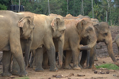 adventure(0.0), mahout(0.0), animal(1.0), indian elephant(1.0), elephant(1.0), elephants and mammoths(1.0), african elephant(1.0), fauna(1.0), safari(1.0), wildlife(1.0),