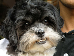 dog breed, animal, puppy, dog, cavachon, schnoodle, pet, lã¶wchen, tibetan terrier, mammal, bolonka, poodle crossbreed, biewer terrier, havanese, lhasa apso, morkie, bichon, chinese imperial dog, cavapoo, bolognese, shih tzu, affenpinscher,