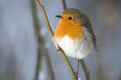 When it's cold, the robins find you! by Joffley