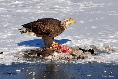 canada goose company