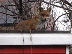 animal(1.0), mammal(1.0), grey fox(1.0), fauna(1.0), red fox(1.0), kit fox(1.0), procyonidae(1.0), wildlife(1.0),