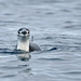 Chinstrap Penguin_DSC6318