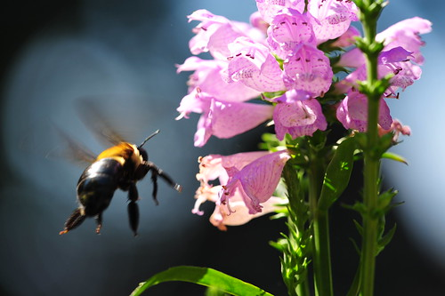 Bumble Bee & Flowers