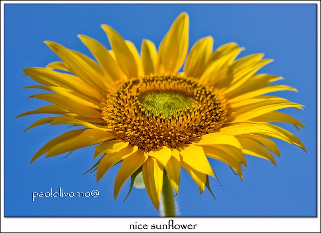 nice sunflower