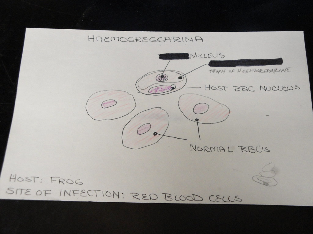 Red blood cell diagram diagram of haemogregarina in frog red blood cells pooptronica Gallery