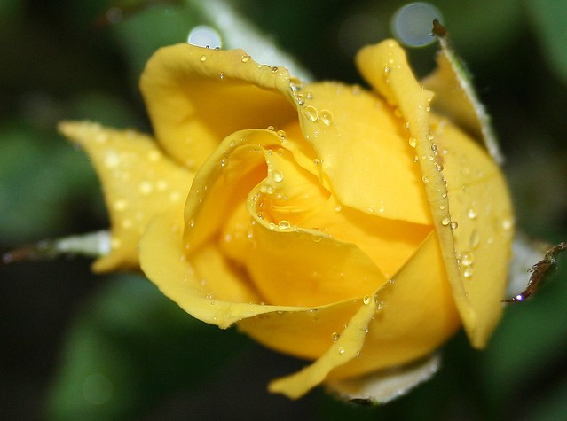 yellow roses with water drops - photo #12