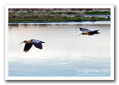 bandurria / buff-necked ibis
