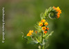 orange fiddleneck