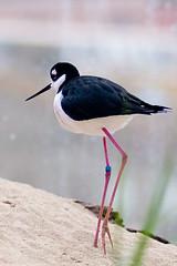 animal, wing, fauna, close-up, ciconiiformes, stilt, beak, bird, wildlife,