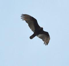 vulture(0.0), bald eagle(0.0), animal(1.0), bird of prey(1.0), wing(1.0), fauna(1.0), buzzard(1.0), accipitriformes(1.0), kite(1.0), beak(1.0), bird(1.0), flight(1.0),