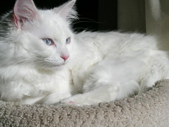 domestic long-haired cat, animal, turkish van, white, small to medium-sized cats, pet, turkish angora, ragdoll, cat, carnivoran, whiskers, norwegian forest cat,