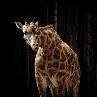 Guatemala - Zoo - Giraffe