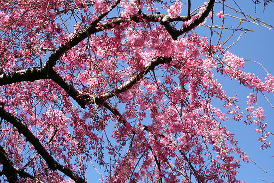 Prunus subhirtella 'Pendula'. Photo by Rebecca Bullene.
