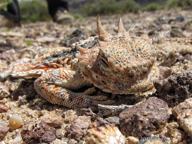 Desert horned lizard   Flickr - Photo Sharing!