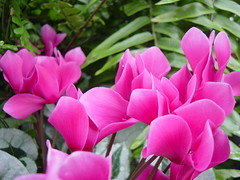 blossom(0.0), flower(1.0), plant(1.0), flora(1.0), cyclamen(1.0), herbaceous plant(1.0), pink(1.0), petal(1.0),