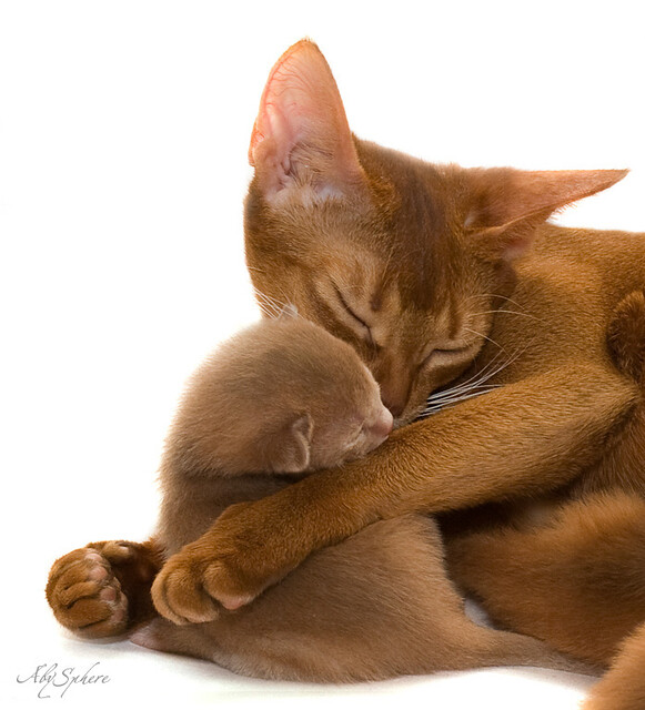 With Child... (abyssinian cat and kitten on white)
