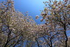 Photo:Cherry blossoms / Sakura / 桜 By TANAKA Juuyoh (田中十洋)