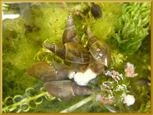 Pond snails eat koi sticks flickr photo sharing for Garden pond snails