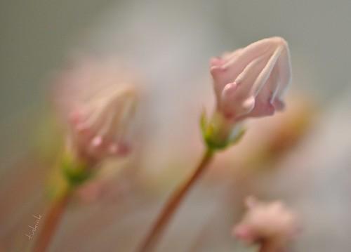 pink green bokeh handheld mountainlaurel kalmialatifolia sooc 105vr nikond90