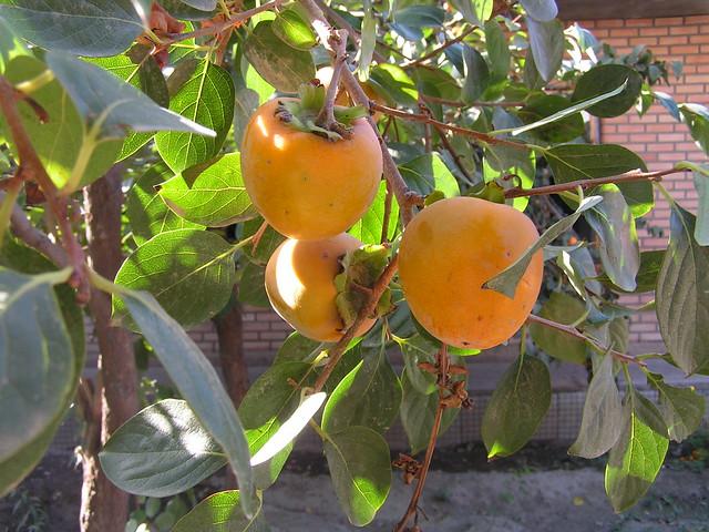 Diospyros kaki diospiro pianta da frutto della famiglia - Arbre a kaki ...