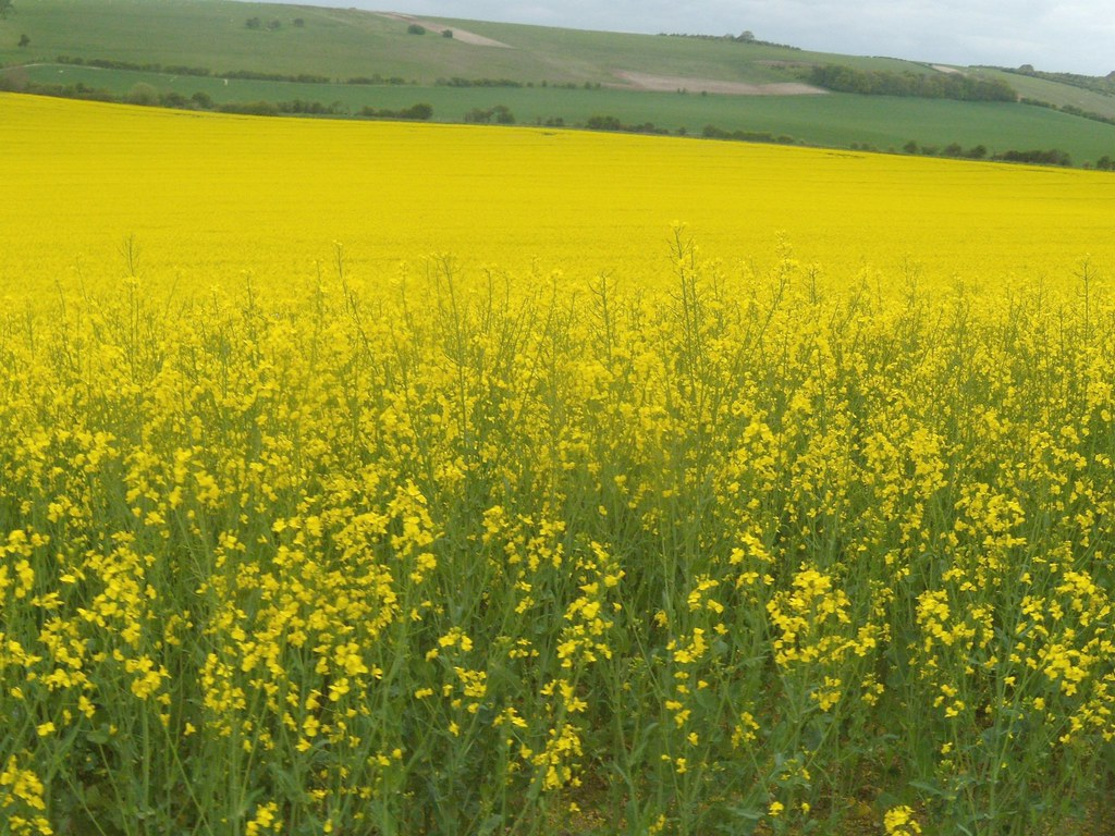 Large rapefield Goring Circular (via Moulsford)