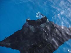 ハワイ島マンタナイトダイビング&シュノーケル