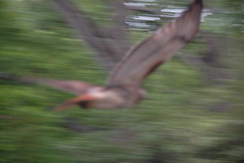 trees tree bird animal boston forest ma flying spring wings eagle hawk massachusetts harvard arnold flight feathers arboretum raptor falcon harvarduniversity predator bostonma osprey birdofprey 2010 peregrine arnoldarboretum redtailedhawk bostonist emeraldnecklace peregrinefalcon universalhub cameranikond50 busseyhill exif:exposure_bias=0ev exif:exposure=0008sec1125 exif:focal_length=120mm exif:aperture=f56 treemuseum camera:make=nikoncorporation exif:flash=offdidnotfire camera:model=nikond50 clearlyicanttellbirdsapartbeyondvaguegeneralcategories meta:exif=1274210949 exif:orientation=horizontalnormal exif:lens=18200mmf3556 exif:filename=dscjpg exif:vari_program=auto exif:shutter_count=43915 meta:exif=1350398324