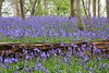bluebell log