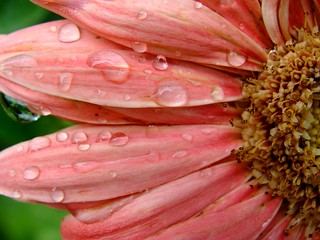 Gerbera daisy with raindrops, peach color, contrast enhanced