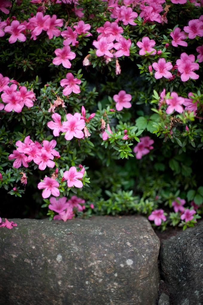 ピンクの花 2010/06/05 DSC_4371