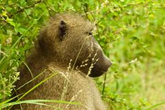 primate(0.0), gorilla(0.0), grizzly bear(0.0), brown bear(0.0), animal(1.0), baboon(1.0), mammal(1.0), fauna(1.0), old world monkey(1.0), wildlife(1.0),