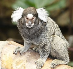 primate(0.0), macaque(0.0), animal(1.0), mammal(1.0), fauna(1.0), marmoset(1.0), old world monkey(1.0), new world monkey(1.0), wildlife(1.0),