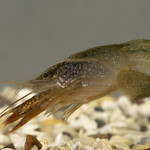 Crayfish Brain May Offer Rare Insight into Human Decision Making