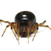 False Widow Spiders - Photo (c) sankax, some rights reserved (CC BY-NC)