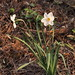 Poet's Narcissus - Photo (c) Hermann Falkner, some rights reserved (CC BY-NC)