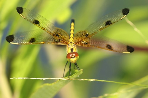 female dragonfly northcarolina picnik richmondcounty calicopennant celithemiselisa superaplus aplusphoto