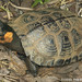 Bog Turtle - Photo (c) Todd Pierson, some rights reserved (CC BY-NC-SA)