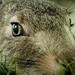 Wide-Eyed Rabbit