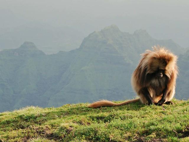 Macho de gelada en las Montañas Simien, macizo de Abisinia, Etiopía.