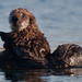 2 of 2 Sea Otter (Enhydra lutris) (marine mammal) Mother with Pup