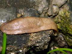 soil(0.0), medicinal mushroom(0.0), oyster mushroom(0.0), mushroom(0.0), auriculariaceae(0.0), fungus(0.0), penny bun(0.0), invertebrate(1.0), macro photography(1.0), fauna(1.0), close-up(1.0), slug(1.0), wildlife(1.0),