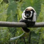 Juvenile Black-and-White Ruffed Lemur, Mantadia, Madagascar