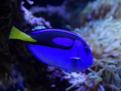 coral reef, fish, purple, coral reef fish, organism, marine biology, macro photography, aquarium lighting, close-up, underwater, reef, blue, pomacentridae, pomacanthidae,