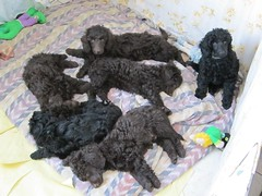toy poodle, miniature poodle, animal, dog, schnoodle, pet, lagotto romagnolo, poodle, cockapoo, portuguese water dog, barbet, carnivoran,